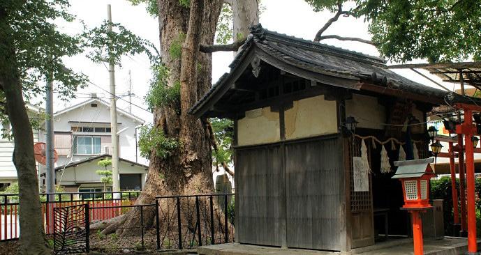 小戸神社の大楠